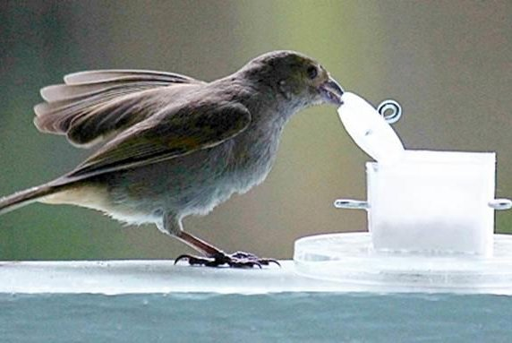 An urban-dwelling bullfinch in Barbados pulls off a lid to get at a cup of food. Photo by McGill University