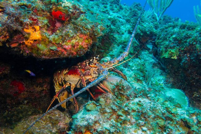 Sea life such as the spiny lobster, pictured, are a key part of the fishing industry in Turks and Caicos but inaccurate reports of catches -- local consumption has been ignored -- could threaten an industry employing as much as 75 percent of residents in some areas. Photo by Leonardo Gonzalez/Shutterstock