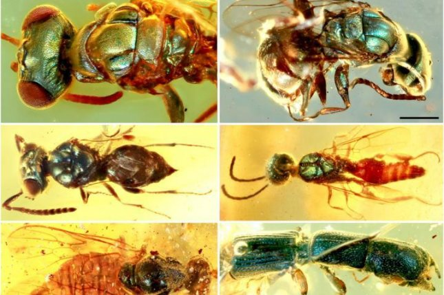 Scientists found surprisingly colorful insects trapped in mid-Cretaceous amber from northern Myanmar. Photo by NIGPAS