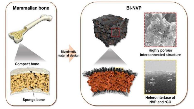 The structure of a mammal bone inspired the design of a new type of sodium-ion battery. Photo by Kang Ho Shin/Sul Ki Park/Puritut Nakhanivej/Yixian Wang/Pengcheng Liu/Seong-Min Bak/Min Sung Choi/David Mitlin/Ho Seok Park