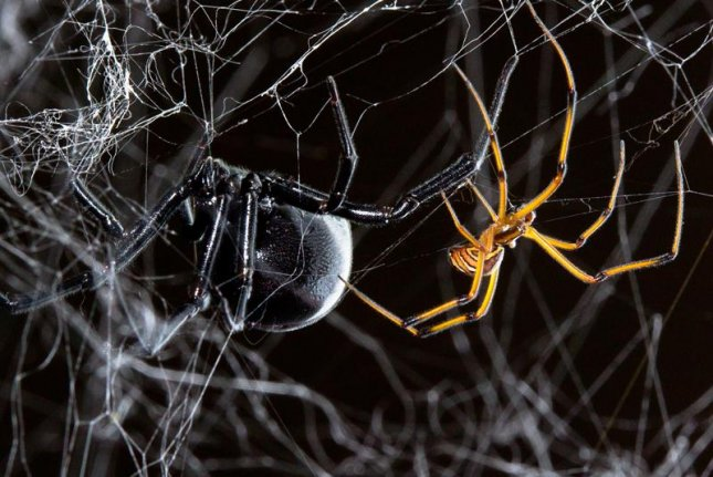 For male black widow spiders, courting female mates, which are significantly larger and prone to cannibalism, is intimidating work. Photo by Sean McCann/UTSC