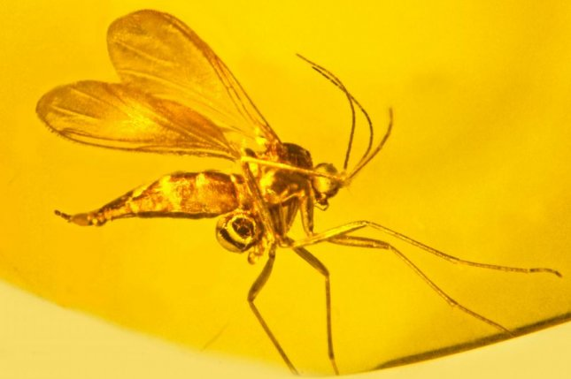 Scientists found orchid pollen on the legs of a fungus gnat trapped in ancient amber. Photo by Oregon State University