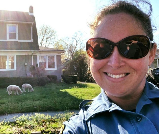 Police in New Jersey said an officer was called out to wrangle a pair of loose sheep -- animals that are not allowed in the city. Photo courtesy of the Long Branch Police Department