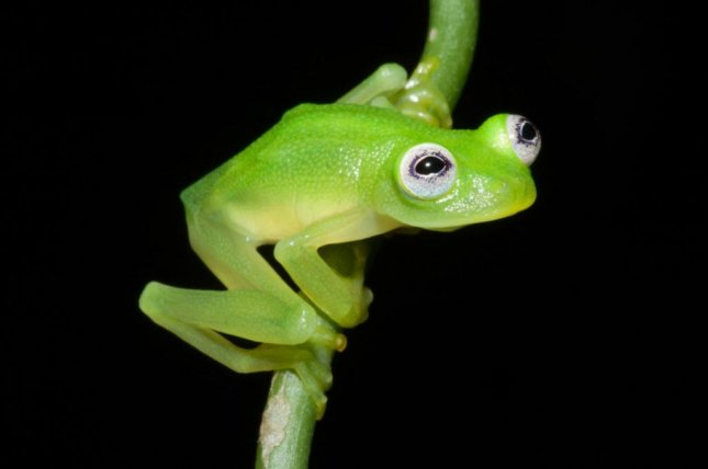 A new species of glass frog discovered in Costa Rica resembles Jim Henson's famed muppet Kermit the Frog. Photo by the Costa Rican Amphibian Research Center
