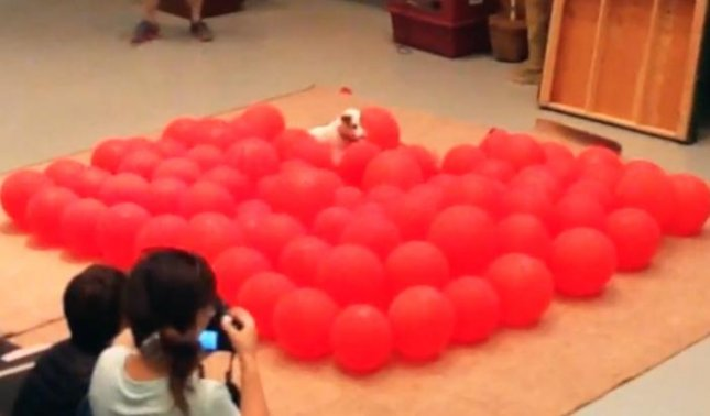 Twinkie the Jack Russell Terrier set a Guinness World Record by popping 100 balloons in just 39.08 seconds. Twinkie's mother Anastacia, who was also trained by experienced dog trainer Doree Sitterly, set the record twice between 2005 and 2008. Screen capture/Guinness World Records/YouTube