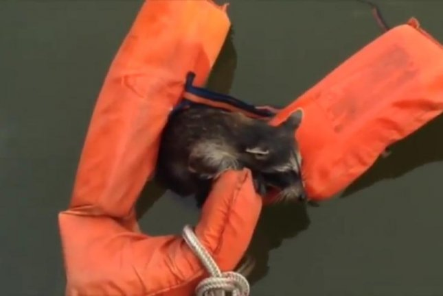 A raccoon struggling to swim rests on a flotation device thrown to it by a boat crew. Screenshot: Storyful