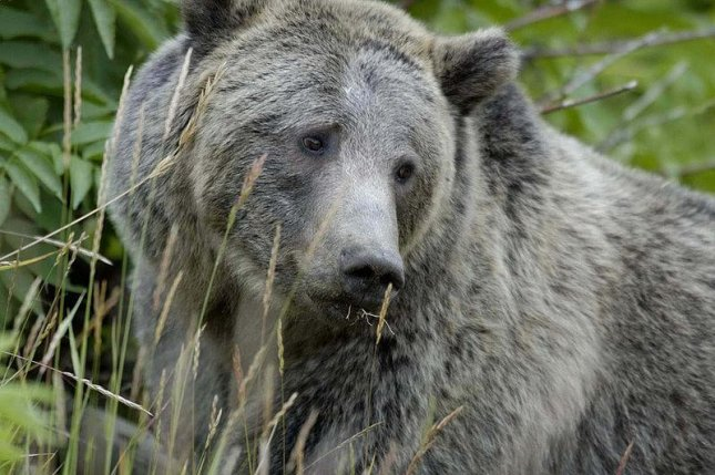 Federal judge temporarily blocks grizzly hunts in Idaho, Wyoming