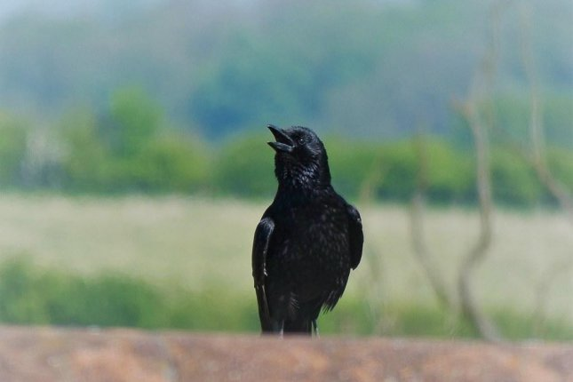 Though it may seem most crows can't help but crow, new research suggests the birds have conscious control over their calls. Photo by Dun.can/Flickr