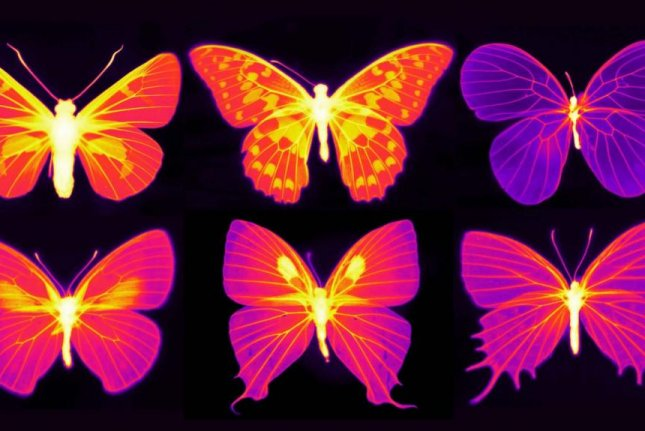 The bright portions of the Infrared images of butterflies reveal the efforts of radiative cooling. Scientists found the portions of the wings containing living cells were consistently cooler than other parts of the wings. Photo by Nanfang Yu and Cheng-Chia Tsai/Columbia Engineering