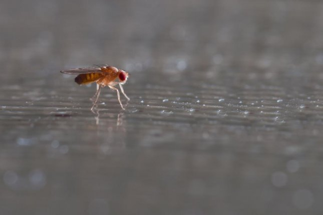 Low doses of lithium extended the lives of fruit flies by an average of 16 percent, helping scientists find two molecular targets that may help them slow aging, according to a new study. Photo by Roblan/Shutterstock