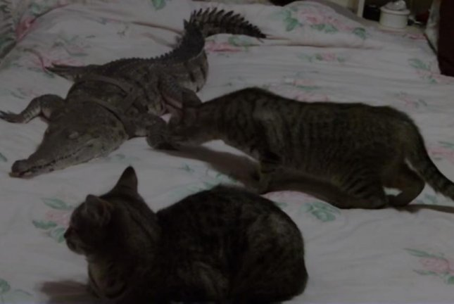 Curious cats investigate the crocodile occupying their owner's bed. Screenshot: Storyful