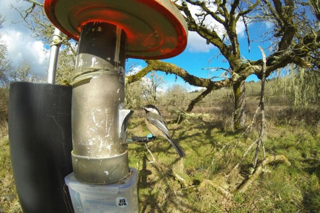A tagged black-capped chickadee visits a bird feeder outfitted with a chip-reader. Photo by Jim Rivers/Oregon State University