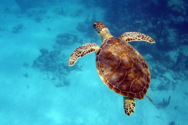 A green sea turtle swims off the coast of Turks and Caicos. Photo by Peter Richardson/Exeter