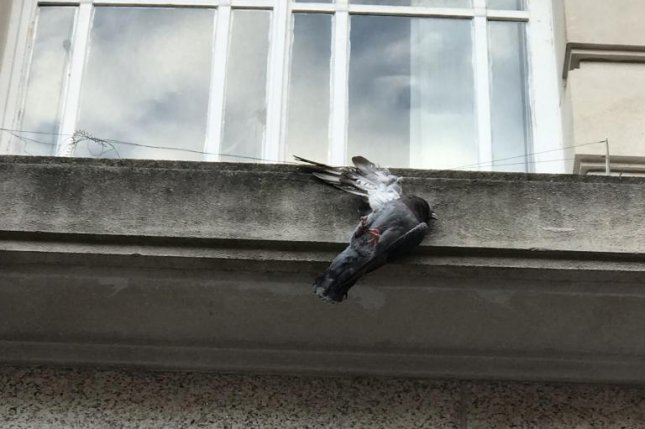 A pigeon is recovering from its injuries after impaling its wing on a bird spike on the side of a Wales building. Photo courtesy of the RSPCA