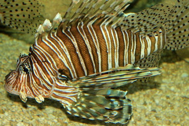 The invasive lionfish has spread dramatically and is a voracious eater. Photo by Yinan Chen/goodfreephotos