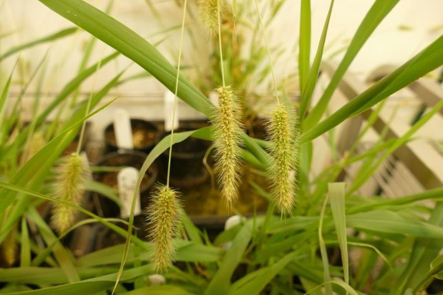 Researchers conducted experiments using the plant Setaria viridis, a close relative of maize and sorghum. Photo by Natalia Bateman/CoETP