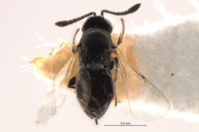Missing for a century, important wasp species rediscovered
