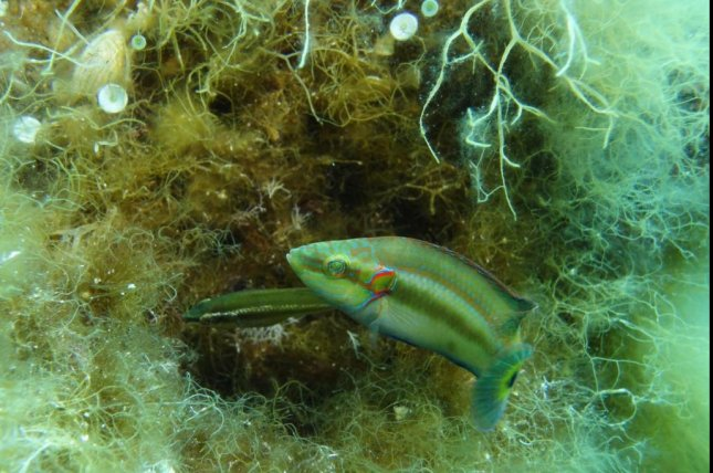 A male ocellated wrasse guards his nest while a female lays eggs. Female ocellated wrasses can manipulate their ovarian fluid to select preferred sperm. Photo by Susan Marsh-Rollo/UCSC
