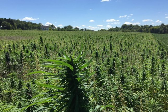 A field of hemp in Minnesota, where the plant grows well. Photo courtesy of Minnesota Hemp Farms