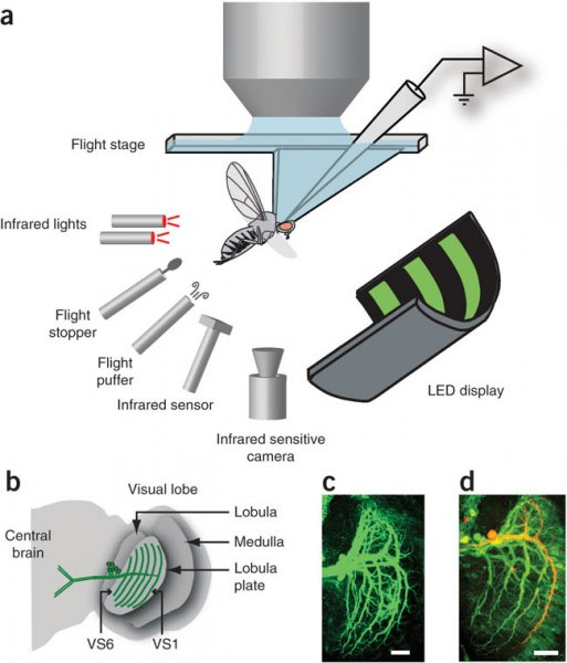 (a) Apparatus. A schematic cutaway of the flight stage is shown. (b) Cartoon of the right side of the fly's brain with VS cells highlighted in green. (c) Immuno-amplified GFP signal in a fly expressing GFP driven by the Gal4-3a promoter (maximal z projection of a confocal stack). Only the lobula plate is shown. Scale bar represents 20 μm. (d) Immuno-amplified GFP signal (green) and a recorded, biocytin-filled VS1 neuron (red; maximal z projection of a two-photon stack). Scale bar is approximately 20 μm. Source