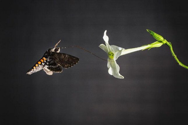 The hawk moths got the most energy gain from sipping the nectar of the flower of Nicotiana alata. The moth's proboscis and flower are perfectly matched in length. Photo by Anna Schroll/MPG