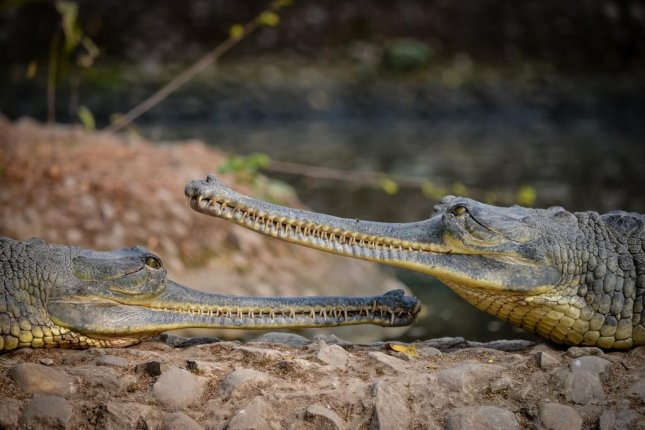 Scientists studied the skulls of gharials, an endangered crocodile, to better understand whether or not sexual different in dinosaurs can be gleaned from fossil analysis alone. Photo by Amit Chorge/Wikimedia Commons