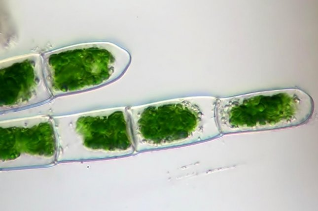 DNA from giant viruses are surprisingly common in some groups of green algae, new research shows. Photo by Wikimedia Commons/CC
