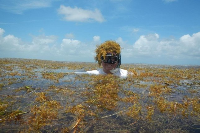 FAU researcher Brian Lapointe is photographed swimming in a massive expanse of brown seaweed bloom. Photo courtesy of Florida Atlantic University