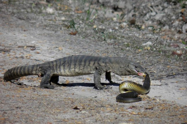 A heath monitor ends a tiger snake's life of venomous crime. Photo by Department of Parks and Wildlife, Western Australia/Facebook