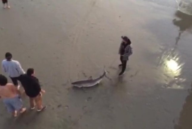 A man prepares to drag a beached great white shark back out into the water at Venice Beach in Los Angeles. Screenshot: JukinMedia