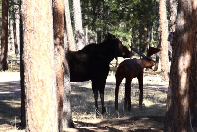 A Colorado moose is perplexed by a backyard statue. Screenshot: Storyful