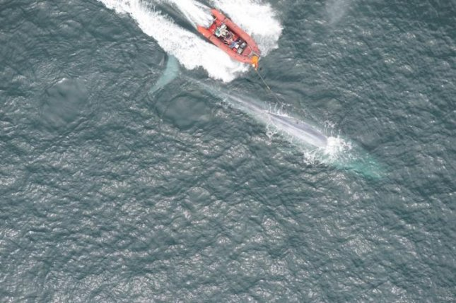 Scientists attached a high-tech tracking tag to a blue whale and successfully recorded the mammal's heart rate -- a first. Photo by Goldbogen Lab/Duke Marine Robotics and Remote Sensing Lab; NMFS Permit 16111