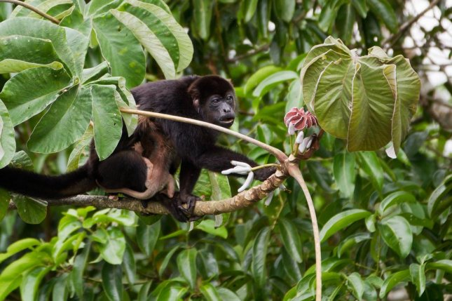 Wild mantled howler monkeys get their unique microbiota by eating a diversity of plants. The same can't be said for captive monkeys. Photo by Elliotte Rusty Harold/Shutterstock