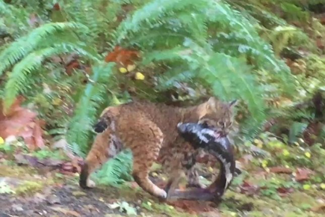 A bobcat carries off a massive salmon caught in a Washington park. Screenshot: Olympic National Park/Facebook