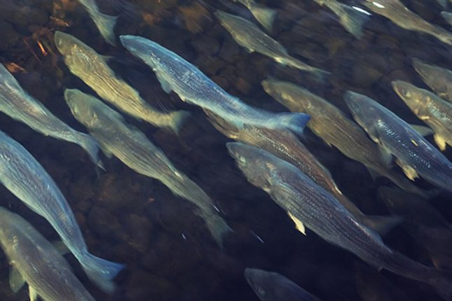 DNA analysis revealed the presence of migrating fish species in New York's Hudson and East rivers. Photo by Rockefeller University