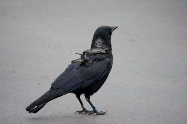Satellite trackers allowed scientists to follow the migrational patterns of American crows across several seasons. Photo by M. Jones/American Ornithological Society
