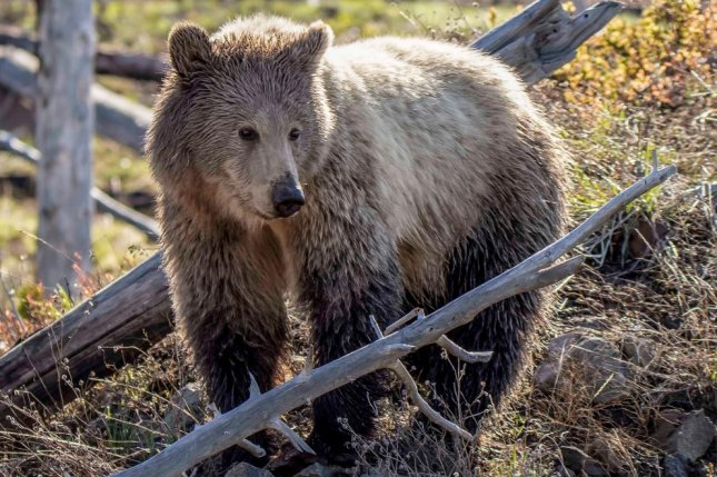Scientists estimate that before European settlers inhabited the United States there were around 50,000 grizzly bears roaming in the Rocky Mountains and beyond. Photo by Wendy Keefover/Humane Society of the United States