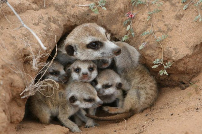 When resources become scarce, female meerkats sometimes kill the offspring of other female meerkats. Moms are even willing to kill the offspring of their close relatives to ensure their progeny have the best chance of survival. Photo by Alecia Carter/Max Planck Society