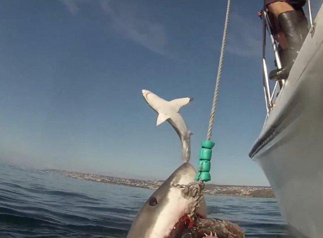 While some of the most fearsome and interesting creatures in the ocean, sharks have a tendency to appear in some strange situations ranging from getting attached to people's arms to video-bombing.  Screen capture/remo sabatini/YouTube