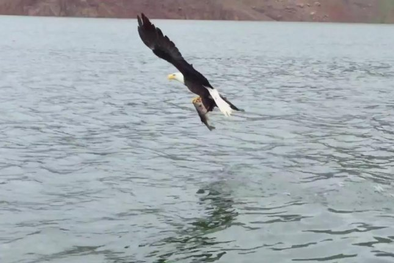 A bald eagle shows a California fisherman how it's done. Screenshot: Storyful