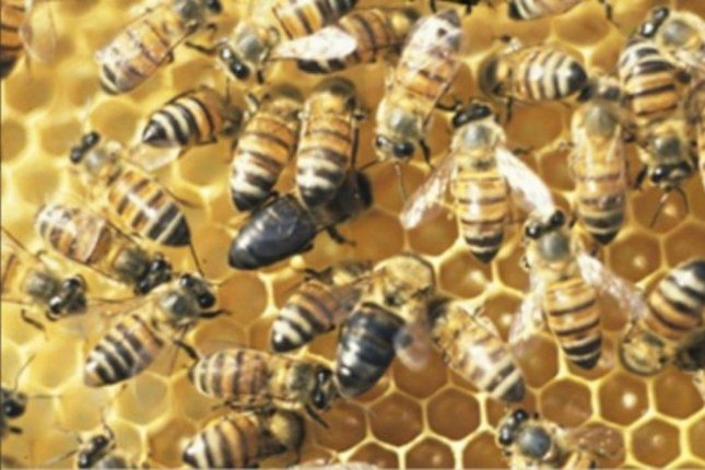 Some female workers in the hives of South Africa Cape honey bees ignore the queen's orders and reproduce on their own. Photo by Mike Allsopp