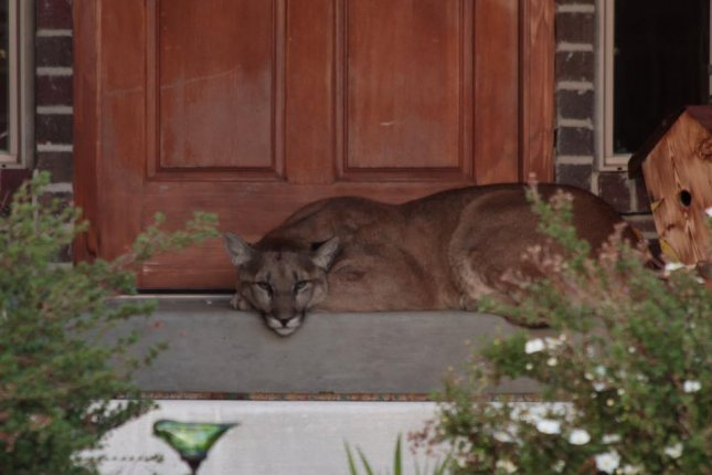 A 2-year-old female mountain lion chills out on a Heber, Mo., resident's front porch. Photo by Rhett Riding/Facebook