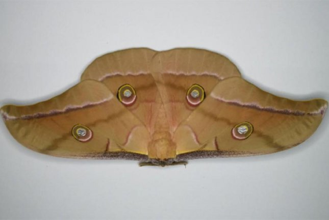 According to a new study, moths use an acoustic metamaterial -- an array of ultrasonic frequency-absorbing scales -- on their wings to dampen the echolocation signal returning to hunting bats. Photo by Thomas Neil/University of Bristol