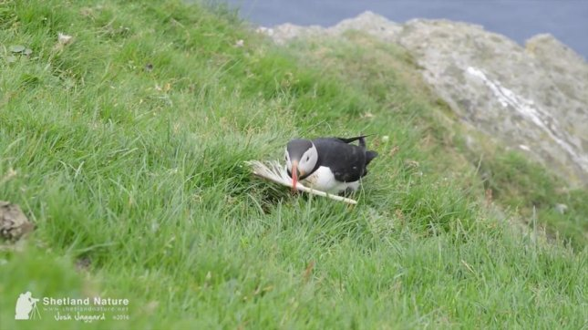 This puffin is having a bit of a feather problem. Screenshot: Storyful