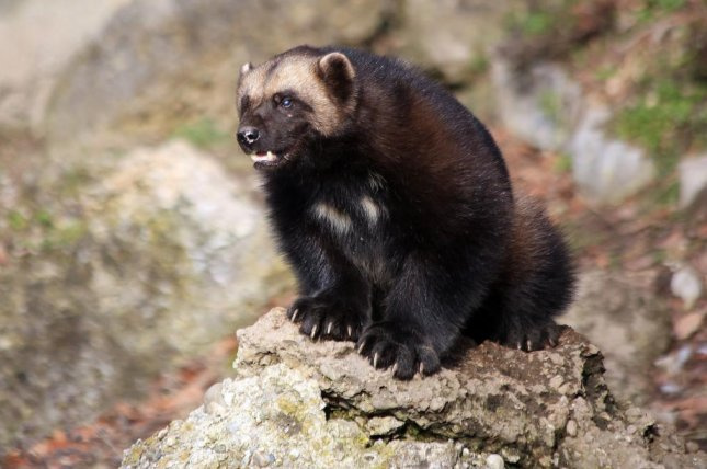 The wolverine is one of several European species that may be unable to relocate as climate change continues to shrink their habitat. Photo by Manfred Werner/Tsui/Wikimedia