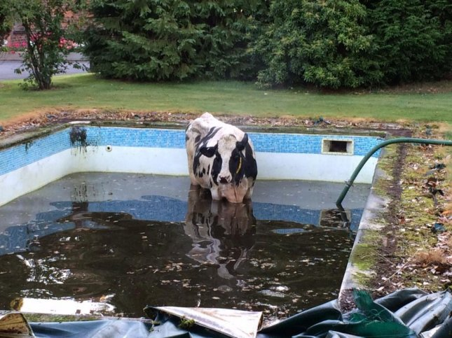 Look: Cow rescued from Cheshire swimming pool - UPI com