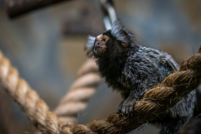 Marmosets adopt the dialect of their new neighbors when they're relocated. Photo by Pxhere/CC