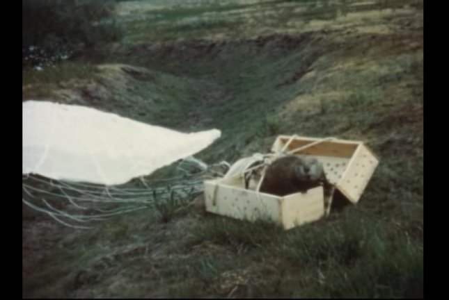 A beaver emerges from his box after being parachuted to his new habitat. idahofishgame/YouTube video screenshot