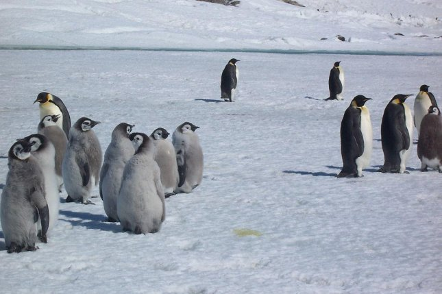 Emperor penguins can't taste much. Photo by CC/Matthieu.weber
