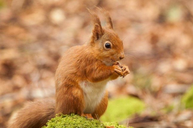 The native red squirrel has been losing out to the invasive gray squirrel in Britain and Europe, but the pine marten may be helping the little squirrel forge a comeback. Photo by University of Aberdeen